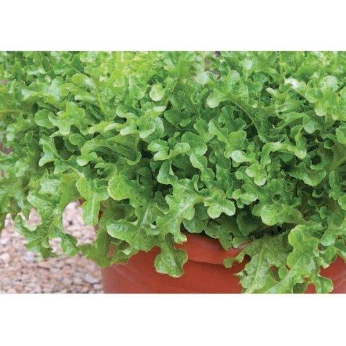 Vegetable - Lettuce - Ashbrook - 1000 Seeds