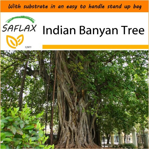 SAFLAX Garden in the Bag - Indian Banyan Tree - Ficus - 20 seeds
