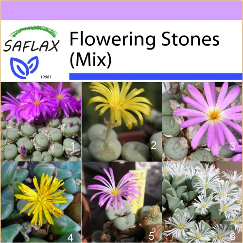 SAFLAX  - Flowering Stones / Conophytum Mix - Conophytum Mix - 40 seeds