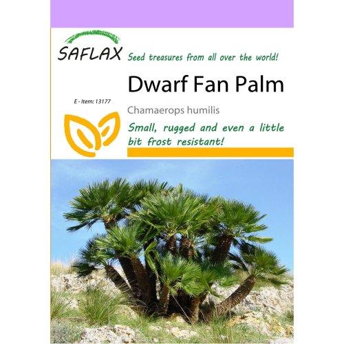 Saflax  - Dwarf Fan Palm - Chamaerops Humilis - 10 Seeds