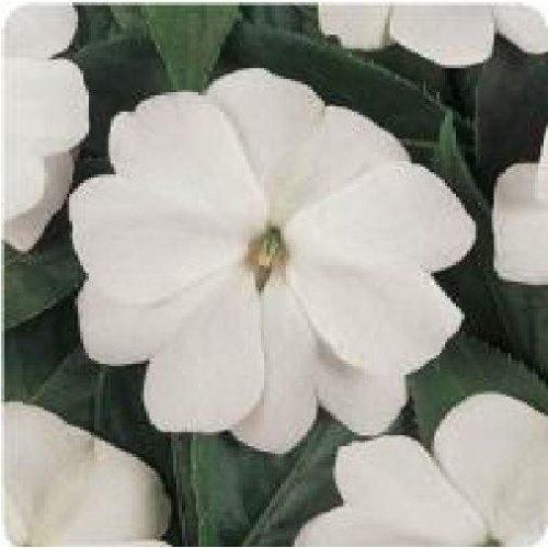 Flower - Impatiens - New Guinea - Divine White F1 - 10 Seeds