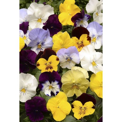 Flower - Pansy - Cool Wave - Mixed F1 - 200 Seeds
