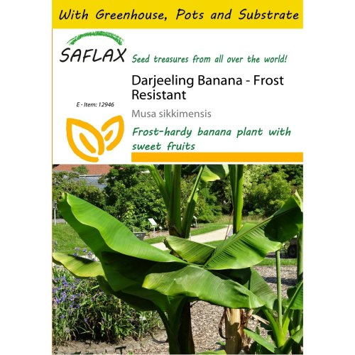 Saflax Potting Set - Darjeeling Banana - Musa Sikkimensis - 5 Seeds - with Mini Greenhouse, Potting Substrate and 2 Pots