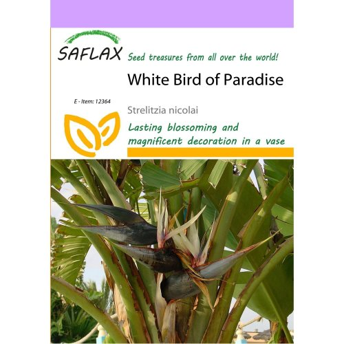 Saflax  - White Bird of Paradise - Strelitzia Nicolai - 5 Seeds