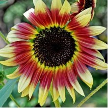 40Pcs Mixed Colored Sunflower Seeds Rare Bonsai Flower Seeds Garden potted Plant