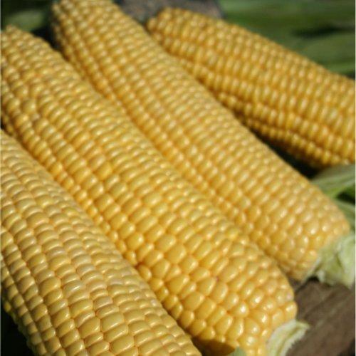 Vegetable - Sweetcorn - Swift F1 - 100 Seeds