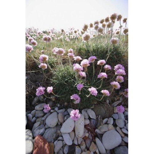 Wild Flower - Thrift - Armeria Maritima - 60 Seeds
