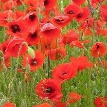 Wild Flower - Red Common Field Poppy - Papaver Rhoeas - 20000 Seeds